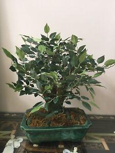 16 Quot Ficus Bonsai Decorative Silk Plant In Ceramic Pot Ebay