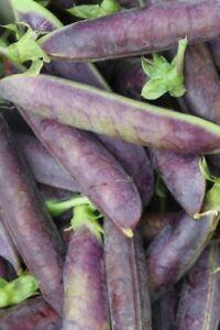 Seedeo ® Capucin Pois Blauwschokker (pisum Sativum L. Convar. Sat.) Environ 100 Sa-afficher Le Titre D'origine Marchandises De Proximité