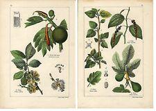 Stampa antica ALBERO DEL PANE GELSO PEPE FICO OLMO botanica 1897 Antique print
