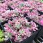 100-Pieces-graines-Portulaca-grandiflora-Bonsai-succulents-fleurs-fleshier-Jardin-U miniature 6