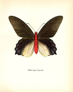 """TORTOISE/"""" COLOR Lithograph 1963 Vintage PROCHAZKA BUTTERFLY /""""CAMBERWELL BEAUTY"""