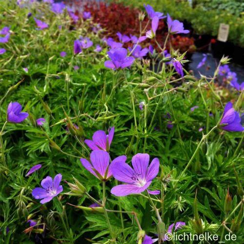 Geranium collinum /'Nimbus/' 1 x Staude Pflanze Storchschnabel
