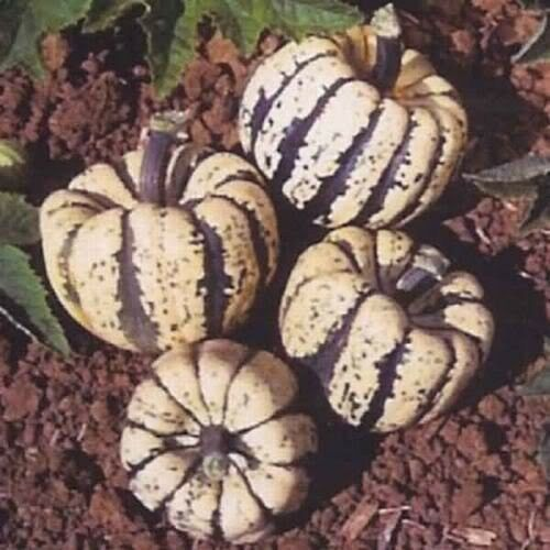 15 HEART OF GOLD ACORN SQUASH Cucurbita Pepo Seeds