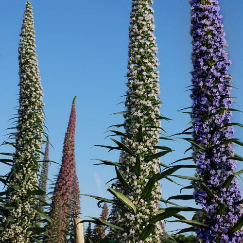 Echium Pininana Tower of jewels collection white//pink//blue Uk adapted seeds!