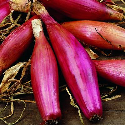 QUALITY radish  red sparkler  seeds garden Vegetable 539