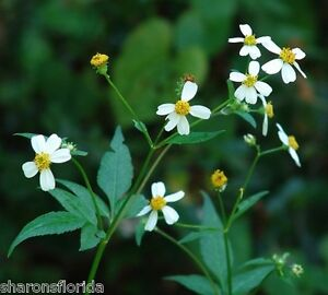 Spanish-Needles-Bidens-alba-100-Seeds