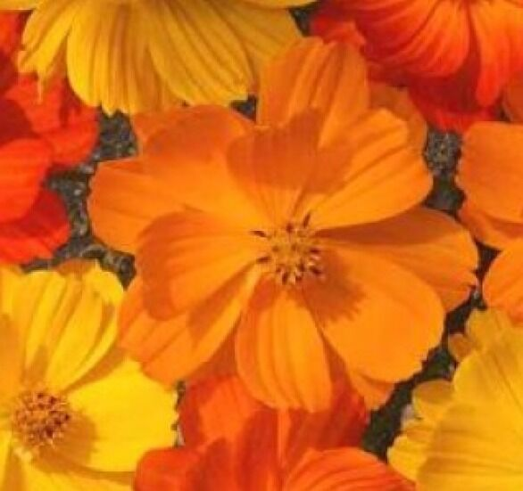 COSMOS BRIGHT LIGHTS MIX 30 FRESH FLOWER SEEDS FREE USA SHIPPING