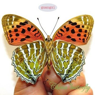 unmounted butterfly Nymphalidae Childrena childreni GUANGXI  A1-