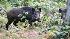 Wildschwein,Überläufer,Frischling.Küchenfertig zerlegt,Keule,Rücken