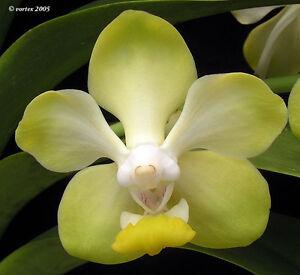 Rare-orchid-hybrid-seedling-Vanda-Dearei