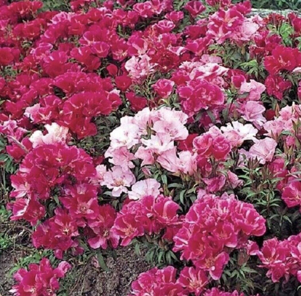 Godetia - Azalea Flowered double mix - 300 seeds - Annual