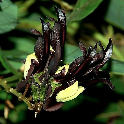 Außergewöhnlich•Schwarze Korallenerbse•15 Samen/seeds •Kennedia nigricans•Ranker