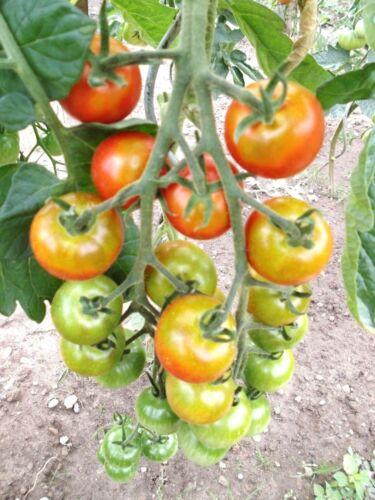 Rote Zuckertraube Cocktailtomate starker Wuchs Massenträger Samen Tomaten