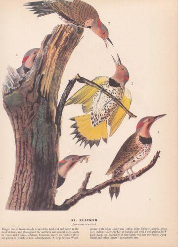 "1942 Vintage AUDUBON BIRDS #37 /""FLICKER/"" Full Color Art Plate Lithograph"