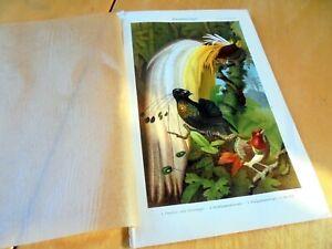 ORIGINAL-CHROMOLITHOGRAPHY-BIRDS-OF-PARADISE-MEYERS-1909-PARADIESVOGEL