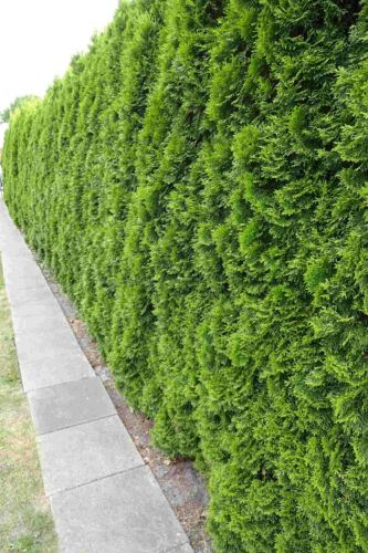 30st Thuja Smaragd 60cm im Topf für 10m Hecke Heckenpflanzen /% Super Sale /%
