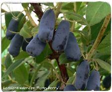 Lonicera caerulea 'Honeyberry' [Ex. Alpes, France] 30+ SEEDS [HARD TO FIND!]