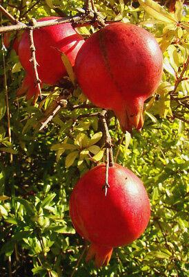 rare fruits SEMI-Nain de grenade Patio arbuste Punica granatum compact