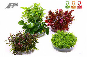 Live-Aquarium-Plants-In-Vitro-120-Species-Aquascaping-Invitro-Fish