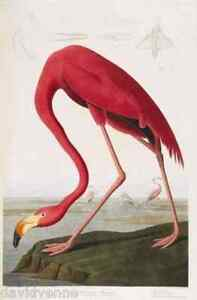 Image Is Loading Birds Of America Flamingo By John James Audubon