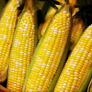 Ambrosia Sweet Corn Seeds   USA Untreated F1 Hybrid NonGMO Bicolor Colorful 2021