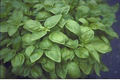 Herb - Basil - Sweet Genovese - 6000 Seeds