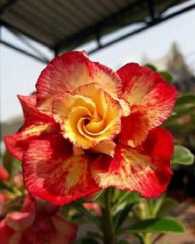 4 Orange Red Desert Rose Seeds  Adenium Obesum Flower Perennial Garden 2-279