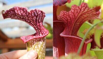 2019//GH//09 Sarracenia plante carnivore fraîches graines UK rare croix