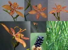 12+ Blackberry Lily Iris Seeds Perennial,Orange Leopard