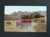 BISON WISENT BUFFALO alte Ansichtskarte / old picture postcard c2337
