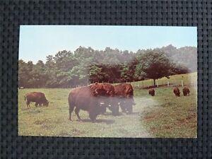 BISON-WISENT-BUFFALO-alte-Ansichtskarte-old-picture-postcard-c2337