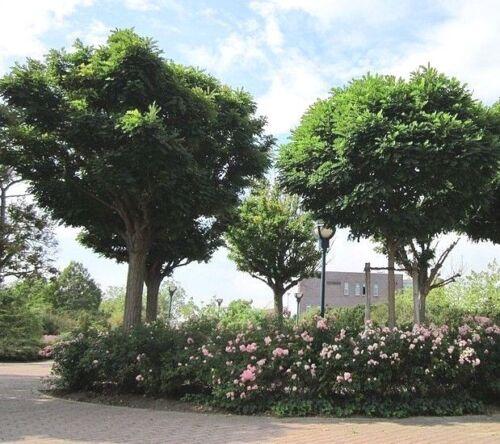 Japonais Pagode Arbre Graines-Sophora Japonica Styphnolobium japonicum 15-50 Graines