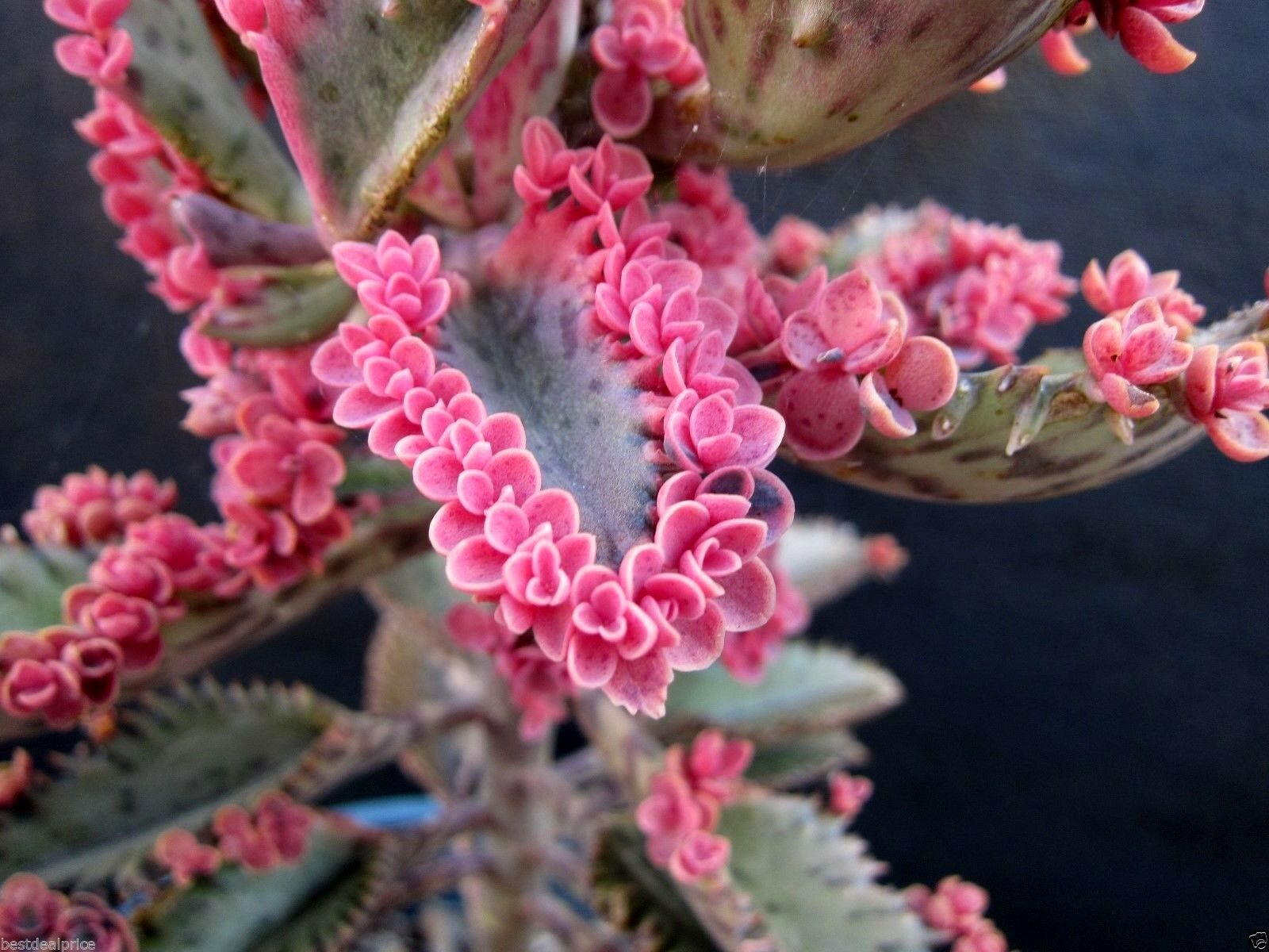 Succulent 2 Leaf CUTTINGS Pink Butterfly Kalanchoe | eBay
