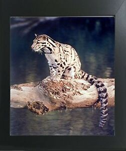 Snow Leopard Big Cat Wildlife Animal Wall Decor Art Print Poster 16x20