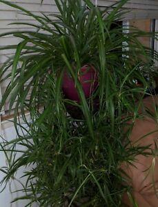 Exotic-Plants-Combination-Pregnant-Onion-Spider-Airplane-Plant-BONUS