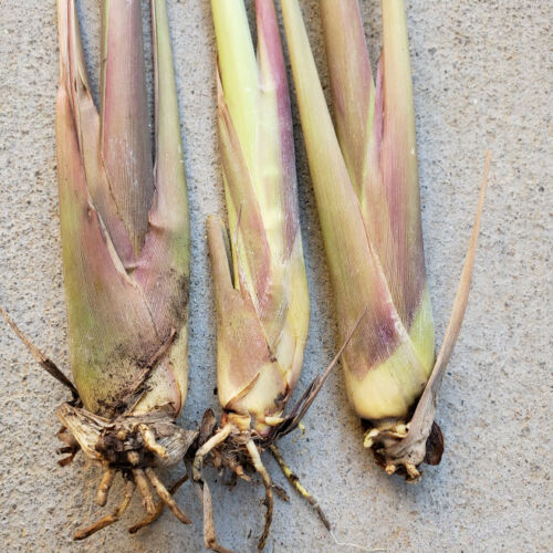 5 Live Matured Lemongrass Plant Edible Herb Organically Grown-no Chemical!