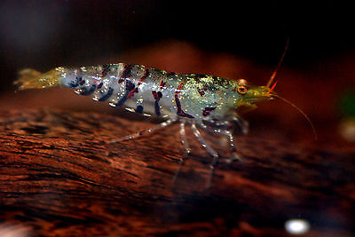 TIGER SHRIMP ** 1.5CM - 2CM ** BEAUTIFUL SPECIES