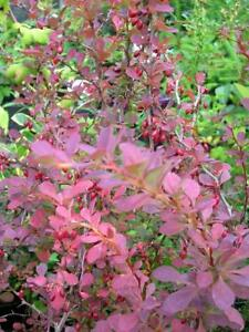Details About Berberis Thunbergii Atropurpurea Shrub Ly Lg Pot Dk Red Foliage Uk Nursery