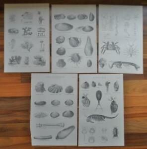 Antique-prints-19th-century-Victorian-era-prints-Shells-Sea-life-Decoupage