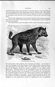 Original Old Antique Print Natural History 1893-94 Spotted Hyaena Wild Animal