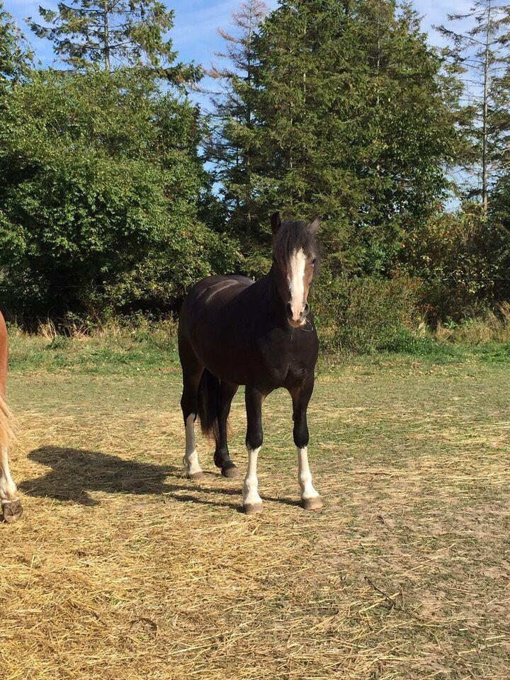 Welsh pony og Cob, hoppe, 2 år