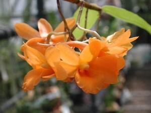Rare-orchid-species-bloom-plant-Dendrobium-crocatum