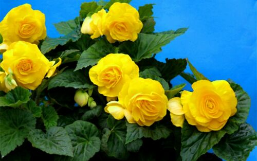 30 Seed Plants Malus Spectabilis Balcony Garden Yellow Begonia Tuberosa Double