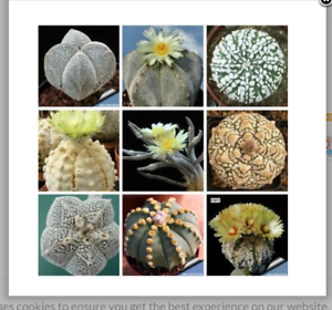 20-seeds-mixed-Astrophytum-succulents-home-garden-plants-Home-Bonsai-Decor