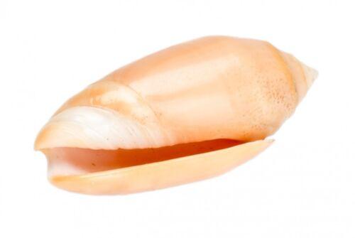 NaDeco® Oliva amethystina ca 4-5cmOlivia annulataOliven SchneckeDeko M