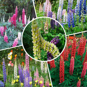 Flower-Lupin-Sunrise-100-Seeds-New-High-quality