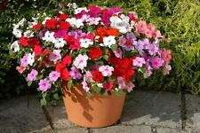 Flower Seeds Busy Lizzy Uollera Mix Impatiens Walleriana Annuals