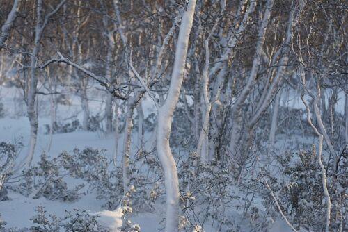 Fabulous bark feature for garden, Paper Birch Betula Papyrifera  50 seeds