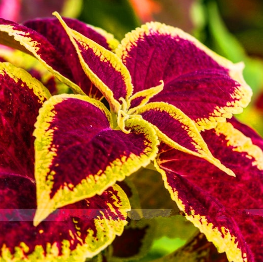 Coleus Bonsai Rainbow Seeds Plants Color Flower Ing For Home Mix 100pcs Bag For Sale Online Ebay