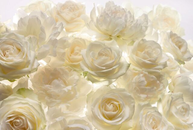 Komar Modern Ivory Rose Home Indoor Floral Wallpaper Decor Wall ...